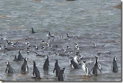 Hooray, lots of penguins