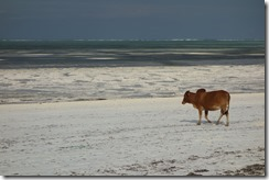 No, we never did find out why there was a cow on the beach!