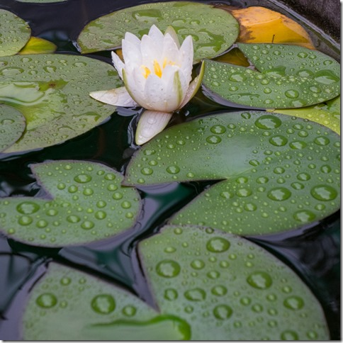 Lotus flower and water drops on the leaves