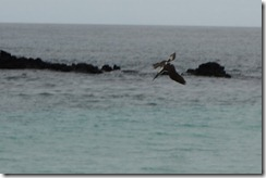 Blue footed Booby going fishing