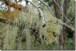 Lichen giving the trees a beard