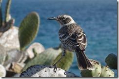 Mockingbird having lunch