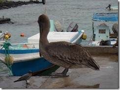 Little and Large - Pelican at the fishmongers