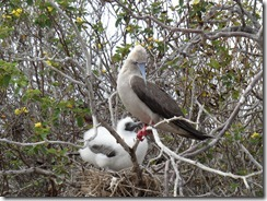 Red footed Booby looking after a nesting chick!