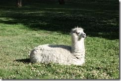 Llama in the Park