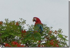 Red & Green Macaw - one contributor to night time noise?