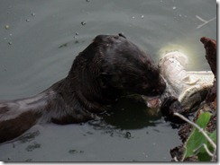 Otter tucking into a Caymen