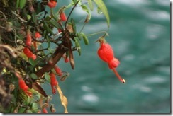 Pretty flowers, but epiphyte or parasite? (Laguna Azul in the background)