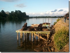 Sea lions on the river bank in Valdivia