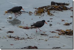 Oystercatchers at work