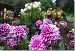 Dahlias in the Botanic Gardens