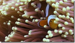 Finding Nemo - Clownfish in an anenome
