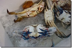 Crabs so cold, their claws have turned blue?