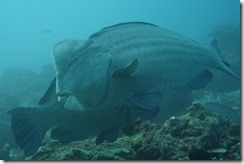 Bumphead Parrotfish - just huge