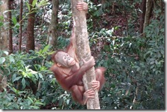 And goodbye from him too. A final, gratuitous, orang-utan photo