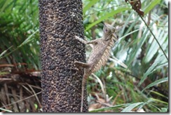 Who's a pretty boy then? An Agamid Lizard (we think)