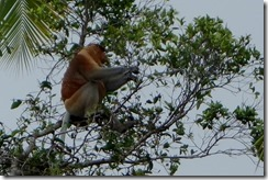 More proboscis monkeys