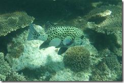 Leopard Fish