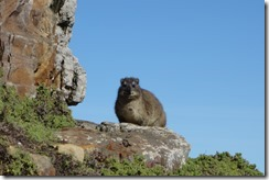 """A Rock Hyrax (""""dassie"""") - my cousin's an elephant doncha know"""