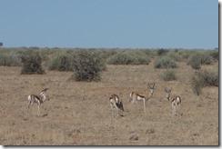 Springbok watching us