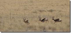 Springboks springing