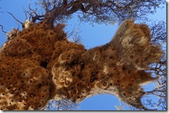 Sociable weaver birds nest from below