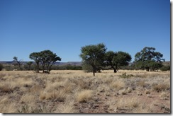 Acacia tree dotted on the landscape