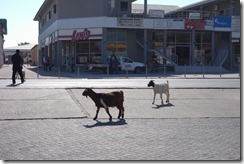 Goats on the main street