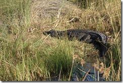 Croc sunning itself