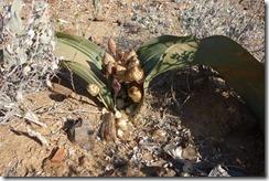 Welwitischia plant