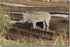 Not so much a pig in a poke as a Warthog in a Mokoro canoe
