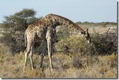 Majestic giraffe