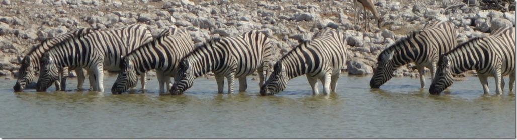 Syncronised zebras