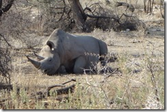 Black Rhino having a lunch time snooze