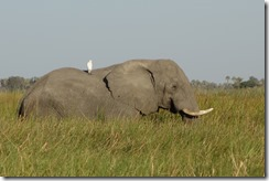 Elephant with a passenger