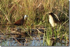 Jacana and Coucal going at it