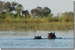 Hippos mating