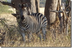 Zebras aren't a black and white issue!