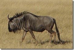 Wildebeast (gnu) out of the shade at last