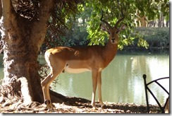 Impala by the golf clubhouse