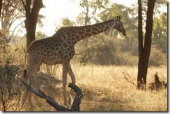 Giraffe in the early evening sun