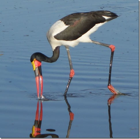 Saddlebill stork fishing