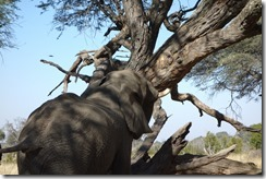 Shaking an acacia tree