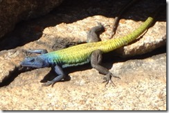 Colourful lizard