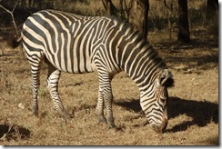 Nonchelant zebra