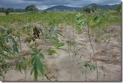 Cassava crops