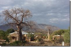 Baobab trees, always striking