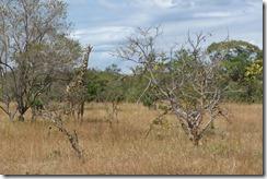 Giraffe peeking out from the trees