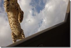 Not many people get this view of a cheetah!