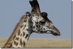 Can giraffes look thoughtful?